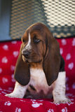 Dog Basset hound. Selective focus and small depth of field stock photography