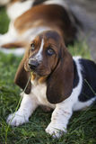 Dog Basset hound. Selective focus and small depth of field royalty free stock photo