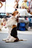Dog basset hound sitting on his hind legs. On the road royalty free stock images