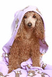 Dog after the bath. Apricot poodle after a bath, isolated on white background royalty free stock photo