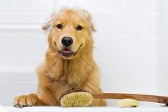 Dog bath. A happy dog prepped and ready for his bath Stock Photos