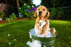Dog Bath. A wet golden retriever dog covered in soap while sitting in a metal bath tub Royalty Free Stock Images