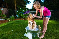 Dog Bath. A young girl scrubbing the scalp of a golden retriever dog while he is covered in soap in a metal bath tub Royalty Free Stock Photos