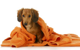 Dog bath. Long haired dachshund being dried off with orange towel on white background Royalty Free Stock Photos