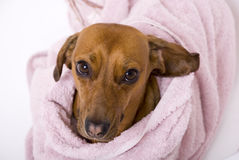 Dog after the bath Royalty Free Stock Photos