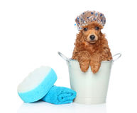 Dog bath day. Toy poodle sitting in a bucket near the towel and washcloth. Portrait on white background royalty free stock image