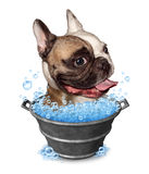 Dog Bath. Funny concept as a happy bulldog in a metal bucket tub with soap bubbles on a white background as a pet grooming symbol and animal cleaning icon Stock Photo