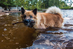 Dog bath. Dog taking a bath with stick royalty free stock images