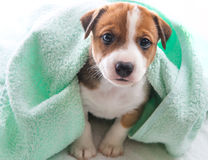 Dog bath towel. A cute little dog wrapped in a towel Royalty Free Stock Images