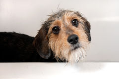 Dog In the Bath Tub Royalty Free Stock Image
