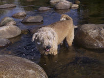 Dog bather. Dog cooling off in a mountain river. Córdoba, Argentina Stock Image