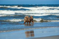 The dog bathes in the sea surf Stock Images