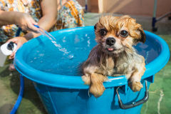 Dog in the bathing royalty free stock images