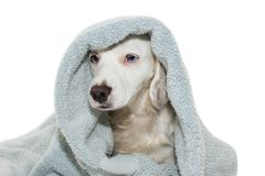 DOG BATHING. CUTE PUPPY WITH BLUE EYES WRAP WITH A BLUE COLORED TOWEL WAITING FOR A SHOWER. ISOLATED ON WHITE BACKGROUND.  royalty free stock photo