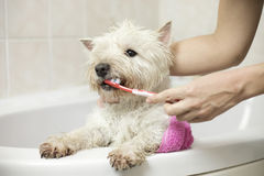 Dog bathing at home Royalty Free Stock Images
