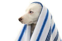 DOG BATHING. MIXED-BREED PUPPY WRAPPED WITH A BLUE COLORED TOWEL. ISOLATED STUDIO SHOT AGAINST WHITE BACKGROUND.  royalty free stock photo