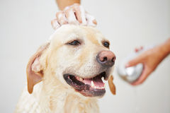 Dog in bathroom Stock Photos