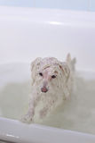 Dog in the bathroom. A little white poodle dog taking a bubble bath Stock Images