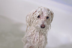 Dog in the bathroom Stock Photography