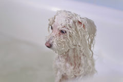 Dog in the bathroom Royalty Free Stock Image