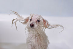 Dog in the bathroom Royalty Free Stock Photography