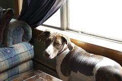 Dog at Bay Window Royalty Free Stock Image