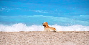 Dog in the beach. Dog watching the waves at the beach Royalty Free Stock Photo