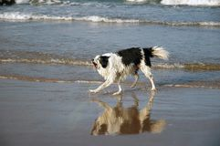Dog at beach. Dog at the beach royalty free stock photo