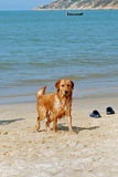 Dog at beach Stock Photography