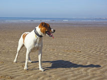 Dog on a beach Royalty Free Stock Images