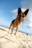 Dog on the beach Stock Image