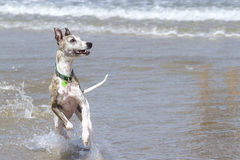 Dog at beach royalty free stock photo