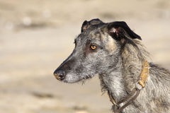 Dog on a beach. Close up of a dog on a beach stock images