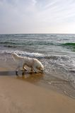 Dog on the Beach 2. Dog on the Beach retriever Royalty Free Stock Photos