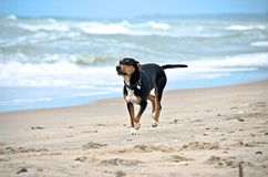 Dog at the beach Royalty Free Stock Images