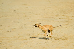 Dog on a beach. Energetic dog running at speed on a sandy beach Stock Photo