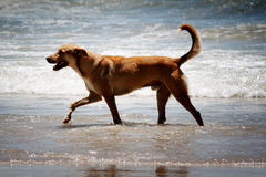 Dog at the beach. The Dog at the beach as beach theme Stock Images