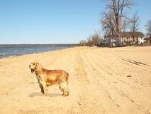 Dog on beach. Ruby cavalier king charles spaniel on beach Royalty Free Stock Image