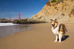 Dog on a beach. With the Golden Gate Bridge in the background Stock Photo