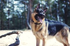 The dog on the beach. German shepherd on the beach Stock Photography