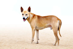 Dog on the beach. Photo design of a Dog on the beach with white background Stock Photography
