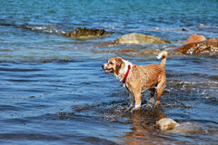Dog at beach Royalty Free Stock Images