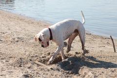 Dog on a beach Stock Photography