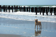 Dog on a beach. Attentive dog on a beach Royalty Free Stock Photography