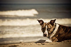 Dog at the Beach. A cute pit bull enjoying the beach on a windy day Royalty Free Stock Images