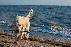 Dog on the beach 3. Dog on the beach in the sunset Stock Photography