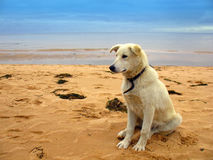 Dog on beach Royalty Free Stock Photography