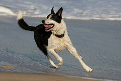 Dog at the Beach Stock Photography