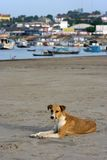 Dog on the beach. With the city fund - Amazon river - Brazil Royalty Free Stock Photography