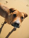 Dog on the beach. A Ridgeback cross on an empty winter beach with footprints on the sand Royalty Free Stock Photo